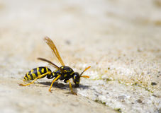 Wasp upclose. A Wasp on a Rock royalty free stock photos
