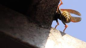 Wasp uppvisning sticker klart att flyga arkivfilmer
