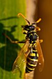 Wasp (Vespinae) Royalty Free Stock Photo