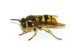 Wasp (Vespula germanica) Stock Photo