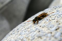 Wasp (vespula germanica) climbing down the decorative concrete. Object stock photos