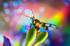 Wasp (Vespula germanica) Stock Photos