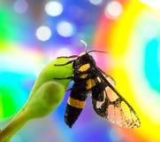 Wasp (Vespula germanica) Royalty Free Stock Photo