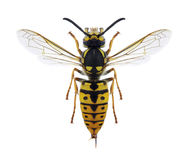 Wasp Vespula germanica female. On a white background Stock Photos