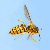 The Wasp. royalty free stock photo