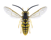 Wasp Vespula germanica male royalty free stock image