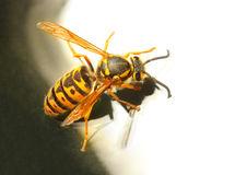 The Wasp. The Wasp - Vespula Germanica. A wasp's stinger contains venom that's transmitted to humans during a sting. Can cause significant pain, irritation Royalty Free Stock Images