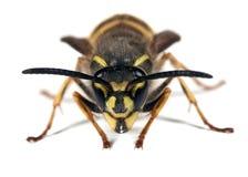 Wasp - Vespula vulgaris Stock Image