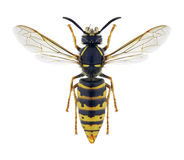 Wasp Vespula vulgaris female. On a white background Royalty Free Stock Photo