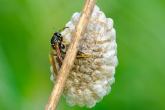 Tired Wasp on nest at dusk- closeup. Wasp Vespula vulgaris sitting on the nest . On dry grass stalk.Taken with telephoto lens 300mm f4 royalty free stock photography