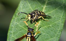 Wasp War. Yellow Jacket hornet defends his space on a leaf against a Paper Wasp.  Paper wasp flew away Stock Images