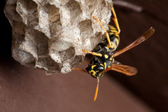 Wasp and Wasp Nest. A single wasp facing downwards towards the bottom of the wasp nest with a brown wooden fence board background stock photos