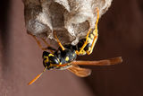 Wasp, Wasp Nest and Cell Cap Stock Photo