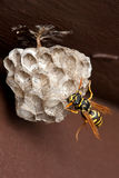 Wasp, Wasp Nest and Eggs. A single wasp tends eggs in a wasp nest with a brown wooden fence board background Stock Photography