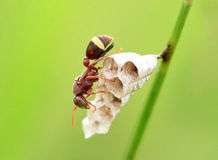 Wasp. S on grass Royalty Free Stock Photo