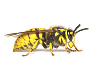 Wasp  on white Stock Photos