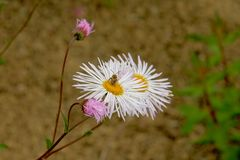 Wasp on a white annual fleabane flowers with yellow hearts stock images
