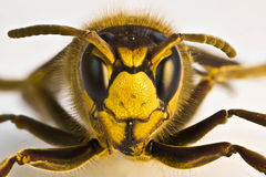 Wasp  on white background Royalty Free Stock Image