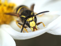 Wasp in white flower. Wasp looking for sweet in white flower macro close-up royalty free stock photos