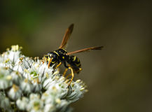 Wasp on the white flower Stock Image