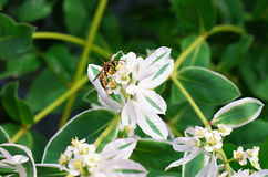 Wasp on a white flower Stock Images