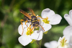 Wasp on the white flower Royalty Free Stock Image
