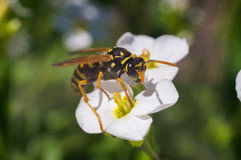 Wasp on the white flower. In sunny day of spring Stock Photo