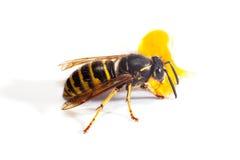 Wasp on white Royalty Free Stock Photo