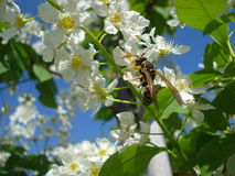 Wasp on white spring blossoms. Wasp (polistes dominula) on wild black cherry blossom Stock Images