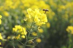 Wasp on Wild Canola Royalty Free Stock Image