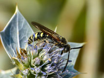 Wasp on a wild flower. Of marine Thistle Royalty Free Stock Image