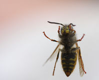 Wasp on window. Wasp on other side of window Stock Photos