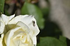 Wasp with wings reflecting colors on a white rose royalty free stock images