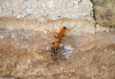 Wasp wolf fighting with brown spider on a stone wall rough Royalty Free Stock Photo