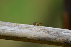 Wasp on wooden log Stock Images