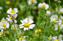Wasp at Work. Wasp collecting pollen from camomile stock photography