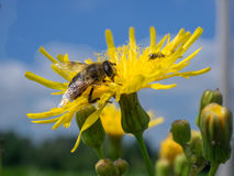 A wasp at work. On a dandelion. Photo taken in macro royalty free stock photos