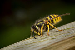 Wasp worker collecting wood Stock Images