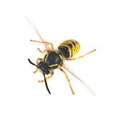 Wasp. Yellow and black animal disturbing Stock Photo