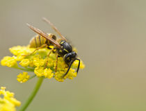 Wasp on Yellow Flower Stock Image