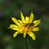 Wasp on Yellow Flower Royalty Free Stock Photo