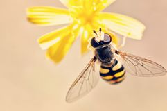 Wasp on a yellow flower Stock Photography