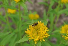 Wasp on a yellow flower. On a green meadow Stock Image