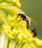 Wasp on yellow flower in nature Royalty Free Stock Photography