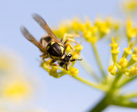 Wasp on yellow flower in nature Stock Photo