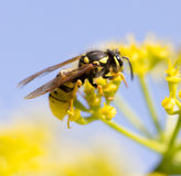 Wasp on yellow flower in nature Royalty Free Stock Photo