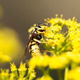 Wasp on yellow flower in nature Stock Images