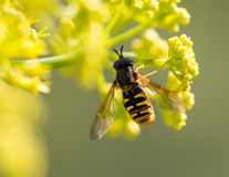 Wasp on yellow flower in nature royalty free stock photos