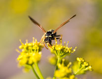 Wasp on yellow flower in nature Royalty Free Stock Images