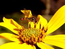 Wasp on yellow flower Royalty Free Stock Images